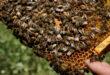 بدقة 95 بالمئة.. تكنولوجيا جديدة لتدريب النحل على اكتشاف الكورونا