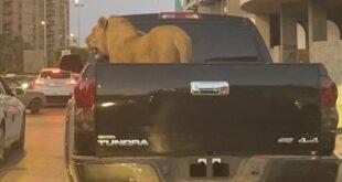على ظهر سيارة.. أسد يطوف شوارع طرابلس الليبية